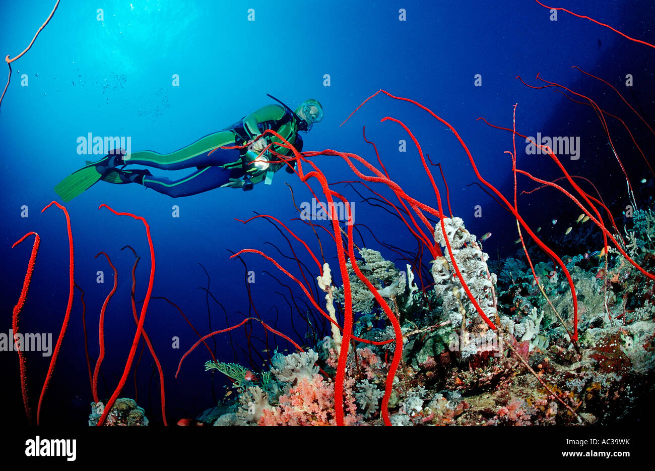 Scuba diver and Red whip corals Juncella sp Sudan Africa Red Sea Stock Photo