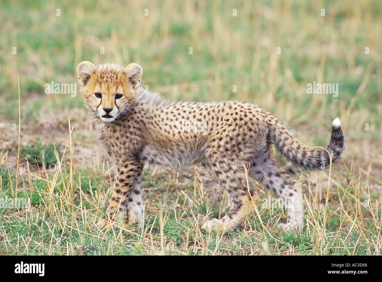 Standing Baby Cheetah Stock Photos Standing Baby Cheetah Stock