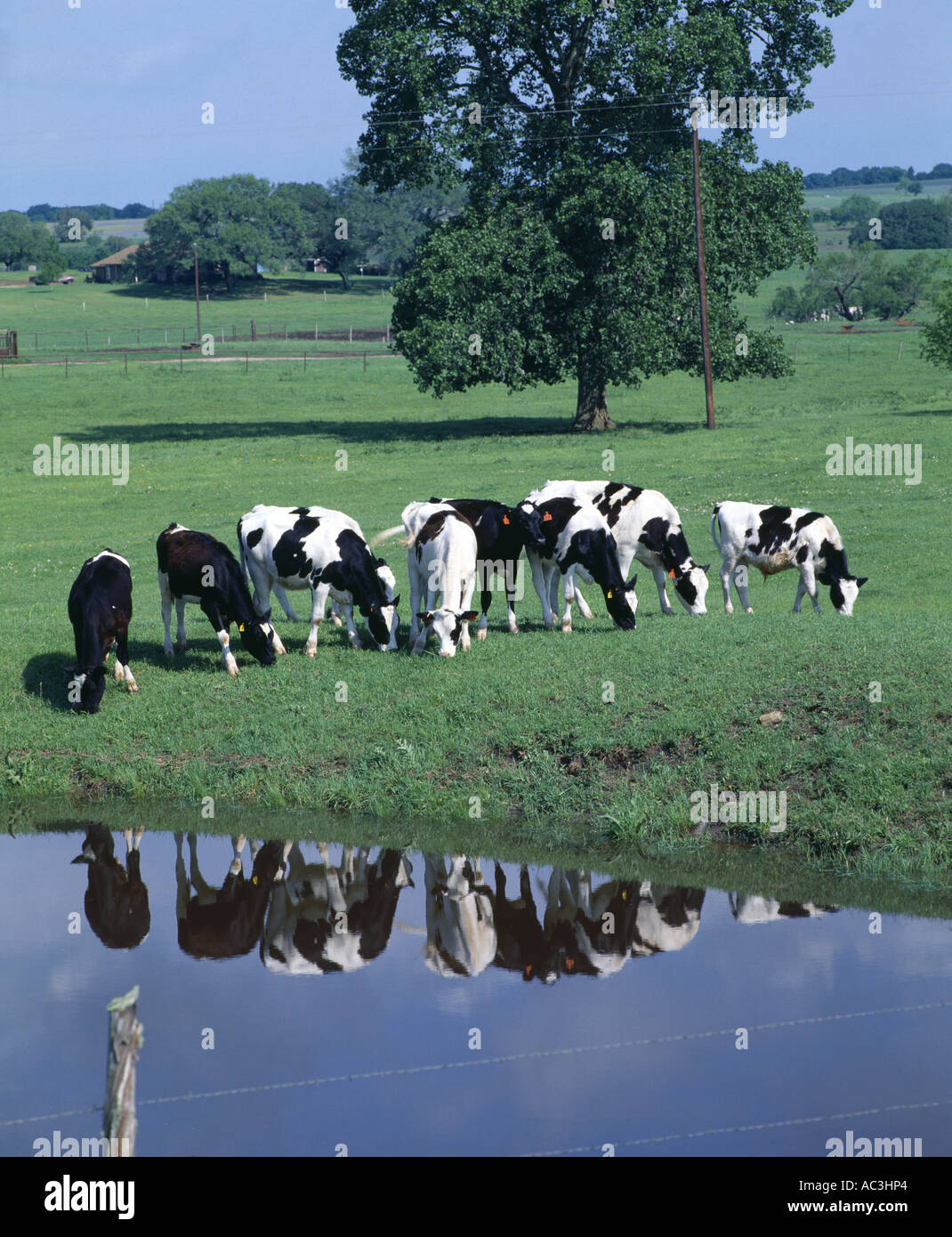 EXCELLENT HOLSTEIN HEIFERS AND BULLS 9 MONTHS OLD ON PASTURE TEXAS - Stock Image