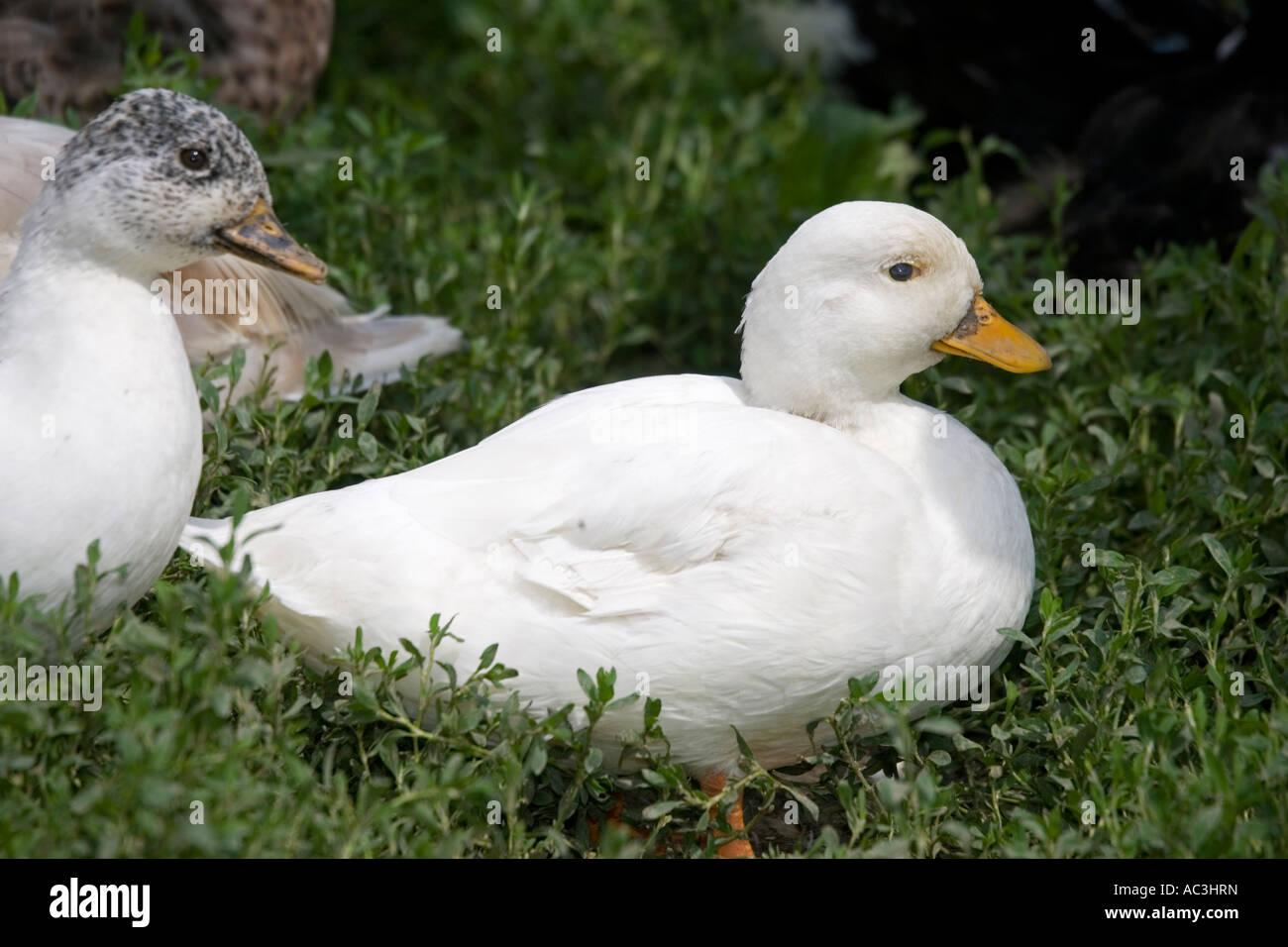Pekin duck Woolstone UK - Stock Image