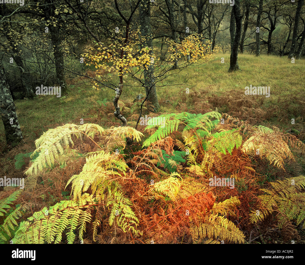 GB - SCOTLAND:  Autmn Woods in the Highlands - Stock Image