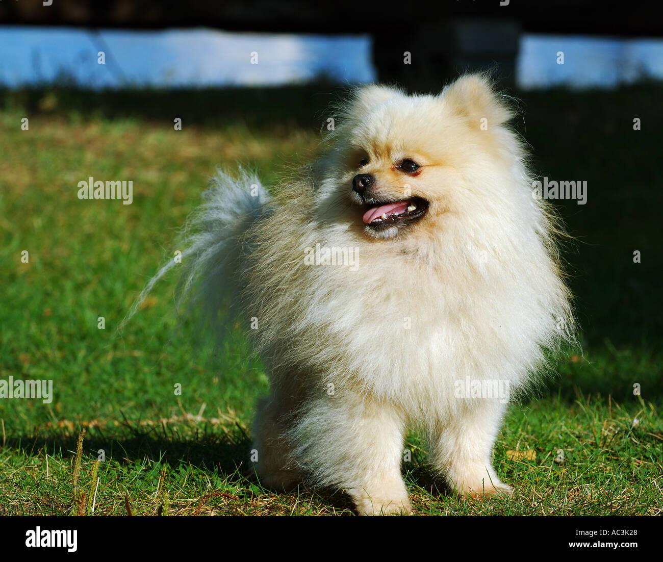 White Pomeranian Stock Photos White Pomeranian Stock Images Alamy