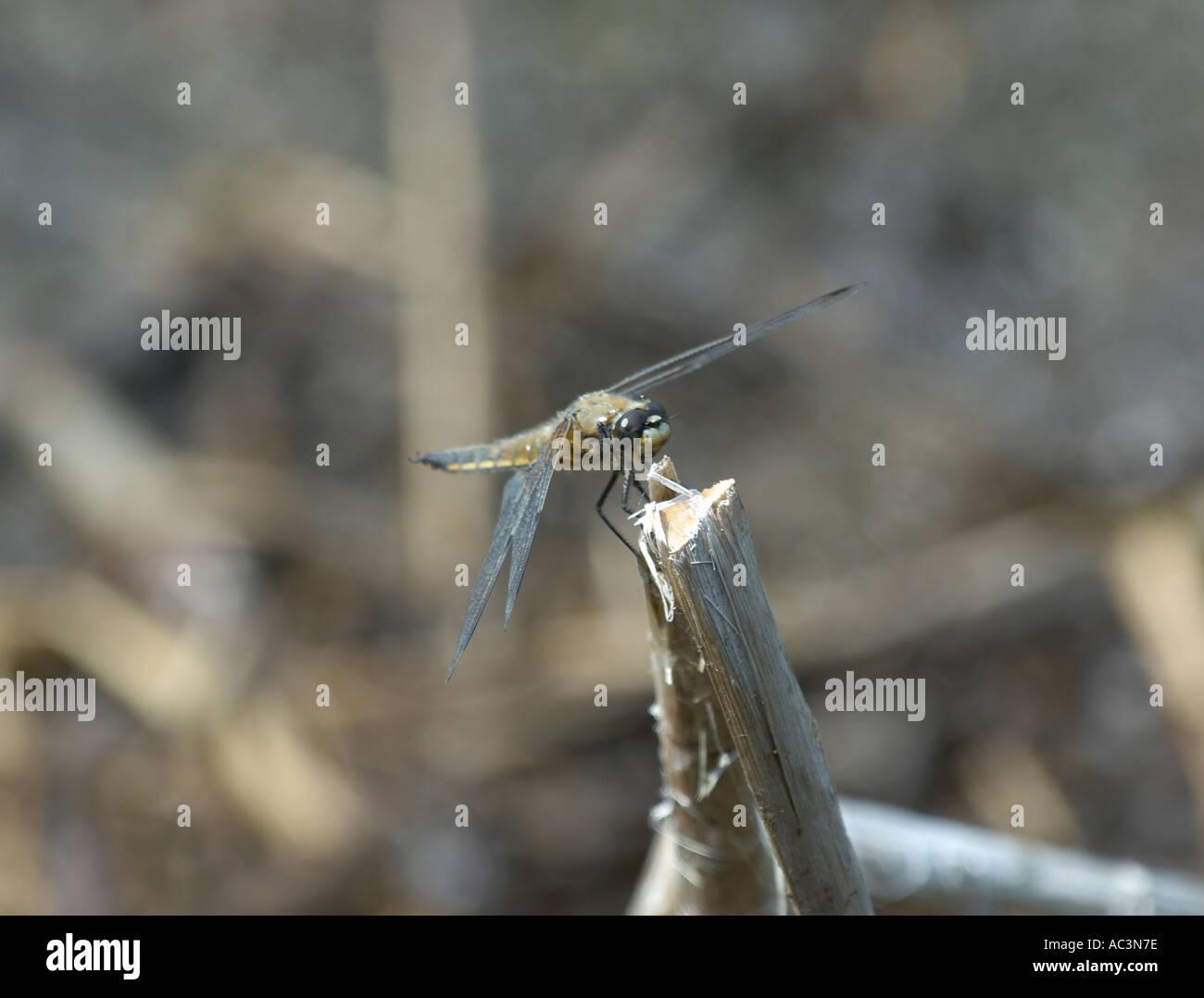 Hawker Dragonfly on Bullrush Stock Photo