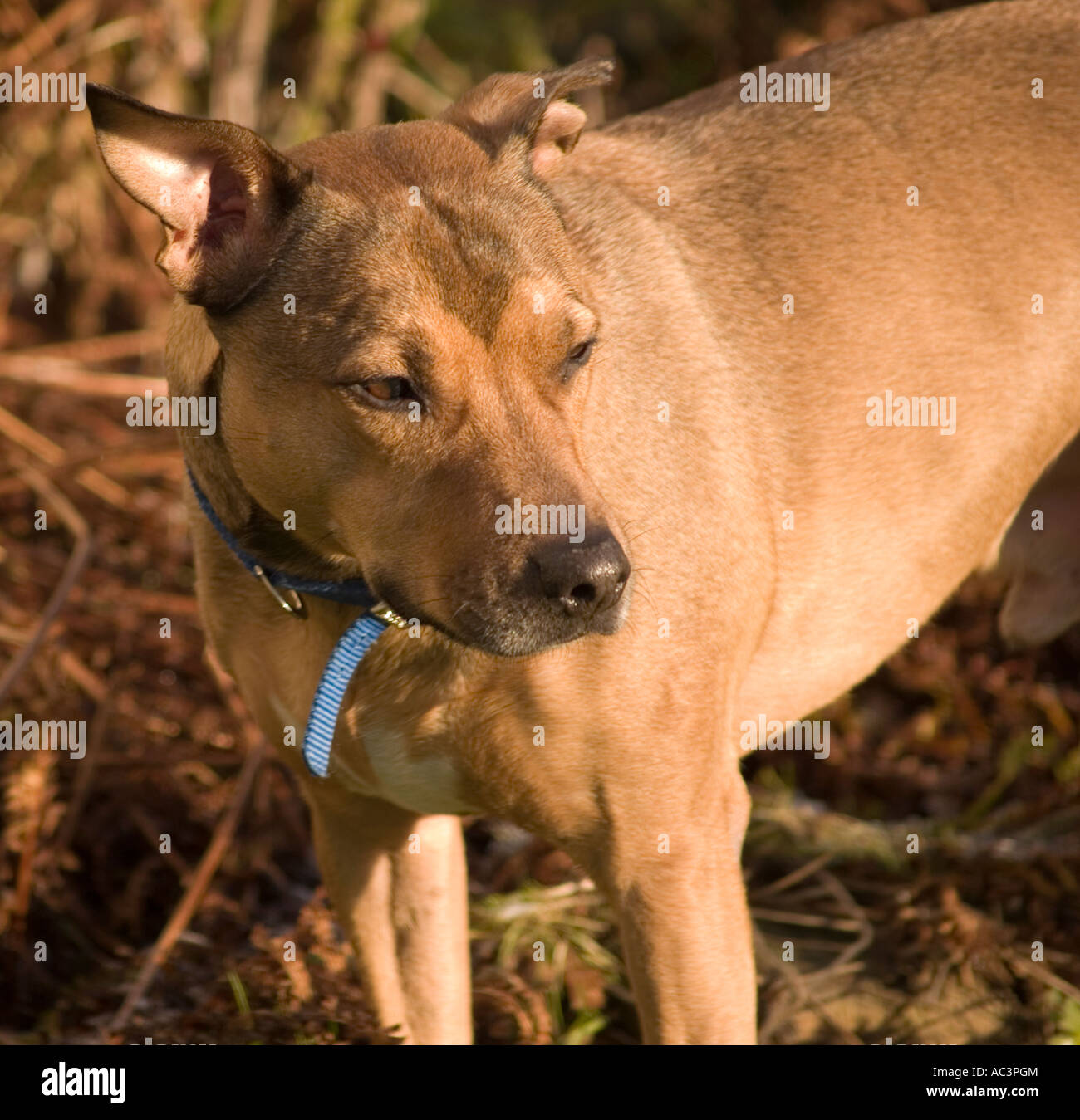 A Brown Staffordshire Bull Terrier Cross Male Dog - Stock Image