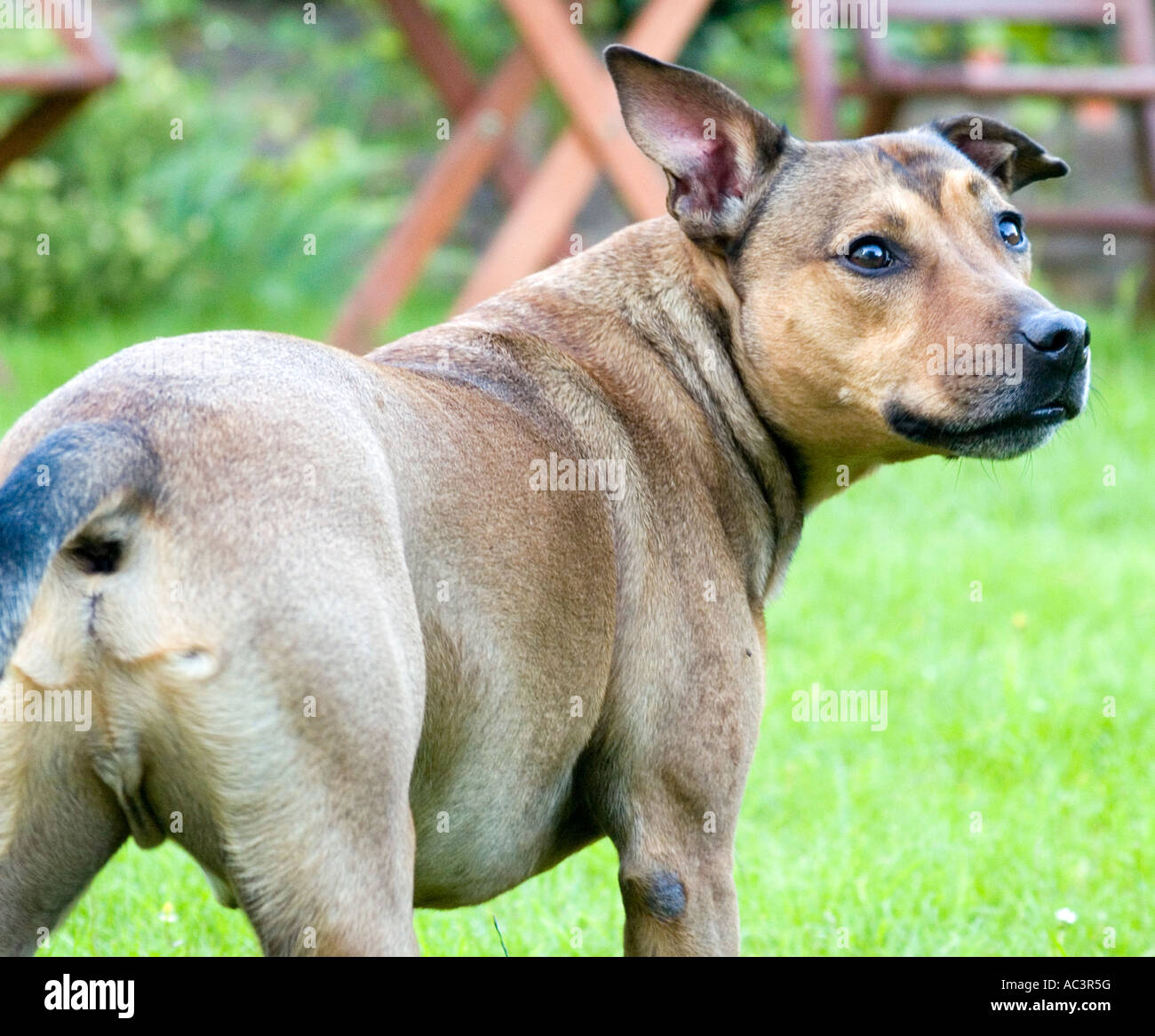 A Brown Staffordshire Bull Terrier Cross, Male Dog - Stock Image