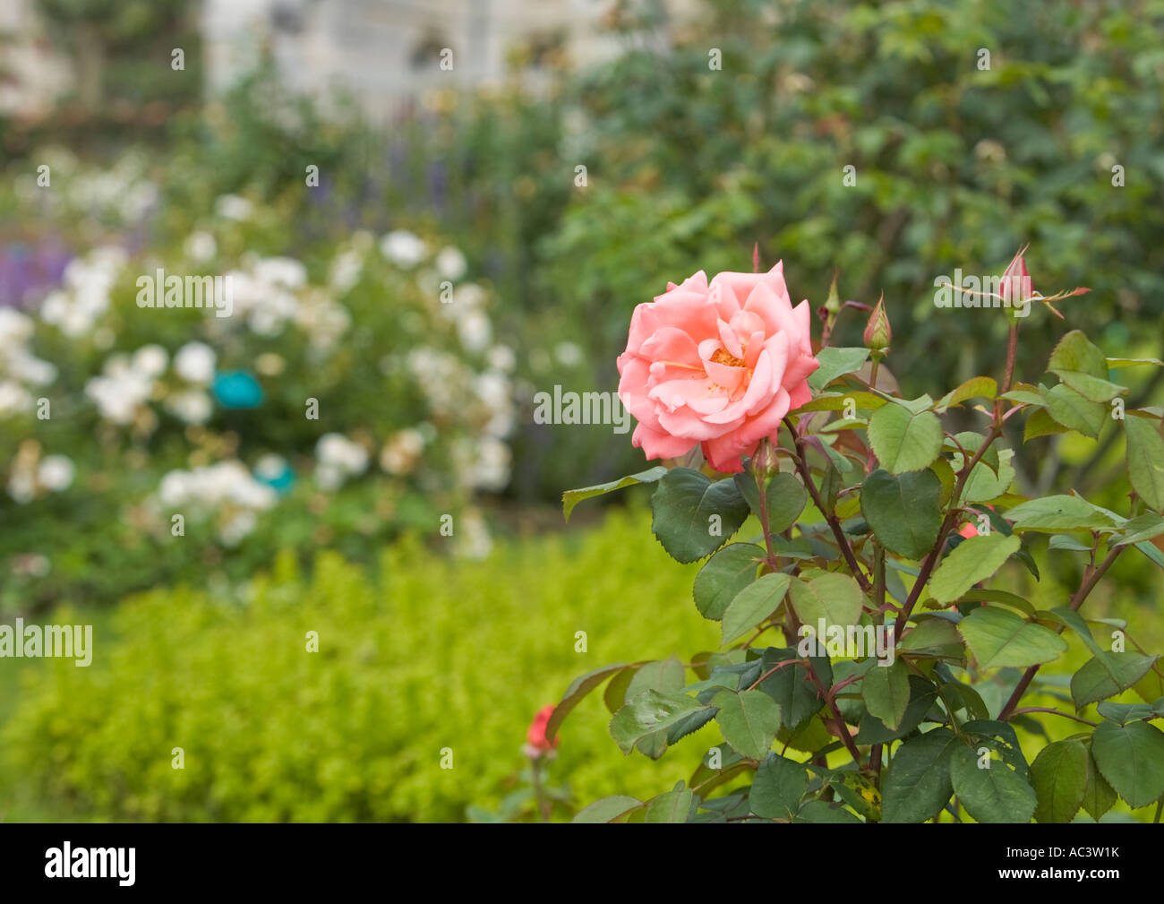 Pink rose with blurred background at L'Abbaye et les Jardins de Valloiresin france eu Stock Photo
