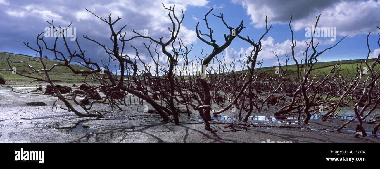 dead trees in Coliford lake in cornwall during a drought 2006 - Stock Image