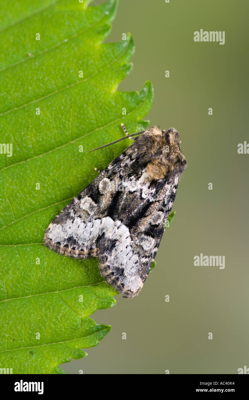 Marbled Minor Operophtera brumata at rest on leaf with nice out of focus background potton bedfordshire - Stock Image
