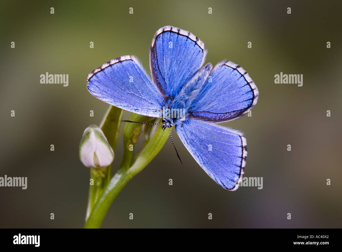Adonis Blue Polyommatus bellargus on flower with wings open and nice out of focus background - Stock Image