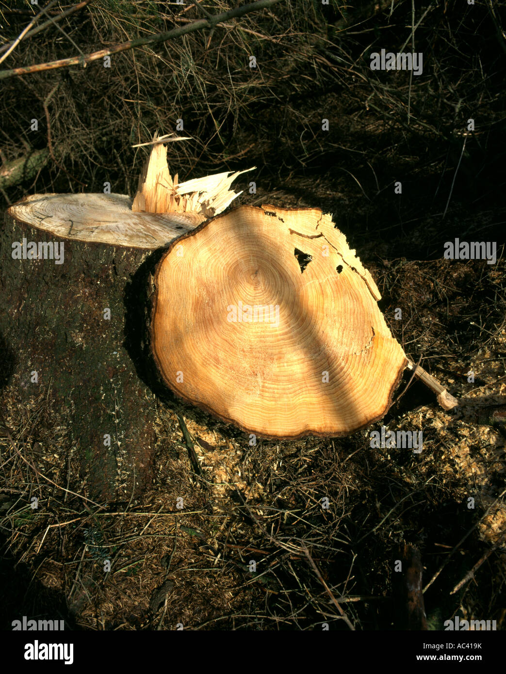 newly cut tree stump dol y gaer brecon beacons national park powys wales Stock Photo