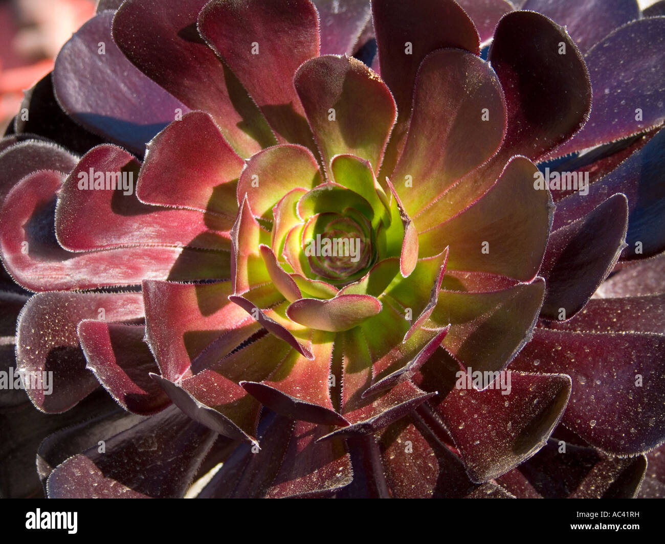 Close up of a beautiful black rose or echeveria flower stock photo close up of a beautiful black rose or echeveria flower izmirmasajfo