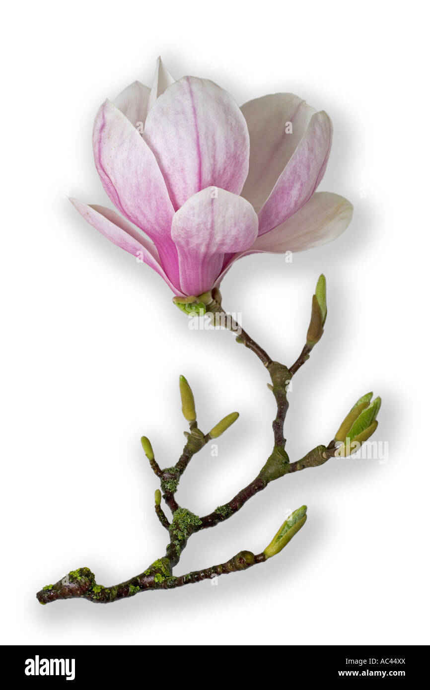 A Saucer Magnolia Flower Photographed In The Studio France Fleur