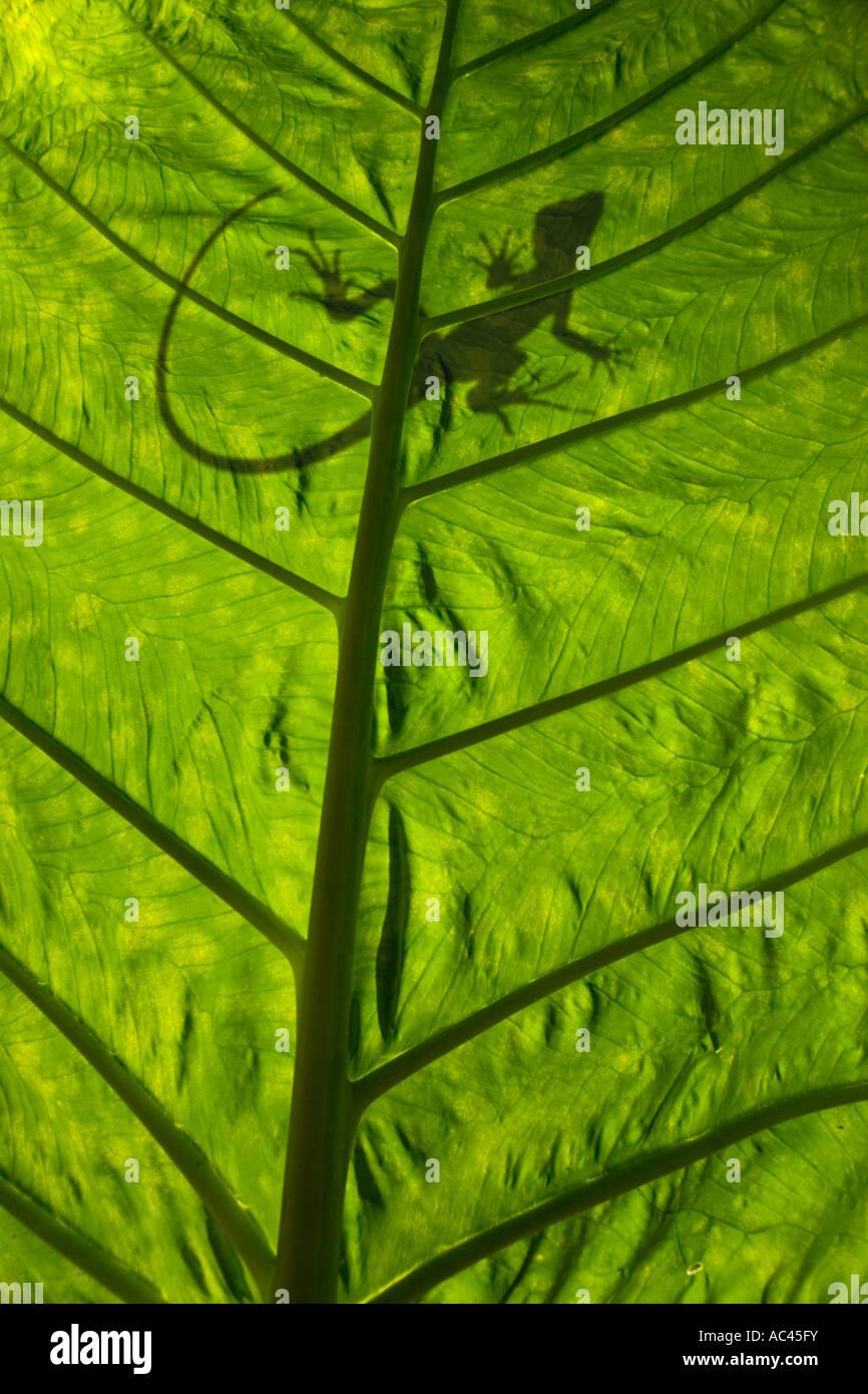 A green crested Basilisk outline (Basiliscus plumifrons), backlit taken. Alocasia macrorrhiza. - Stock Image