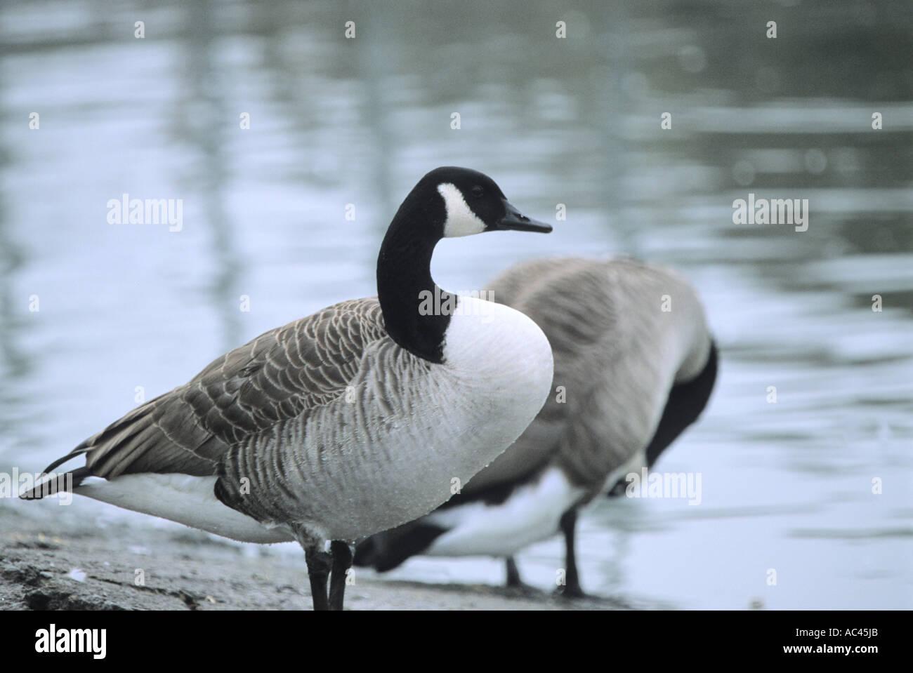 canada goose scotland