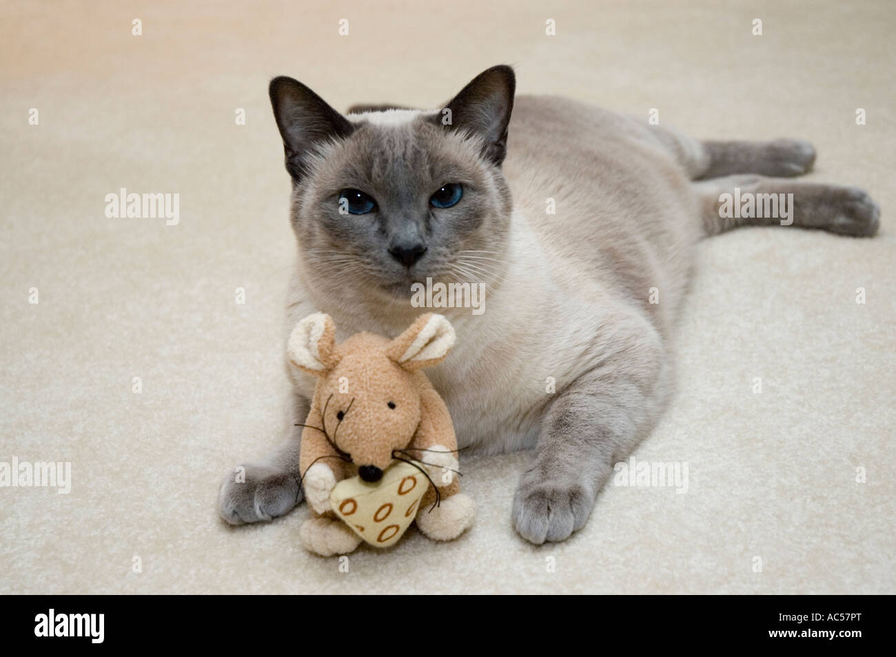 153fcb0fdbcb Blue Point Siamese cat lying down with a stuffed mouse toy. - Stock Image