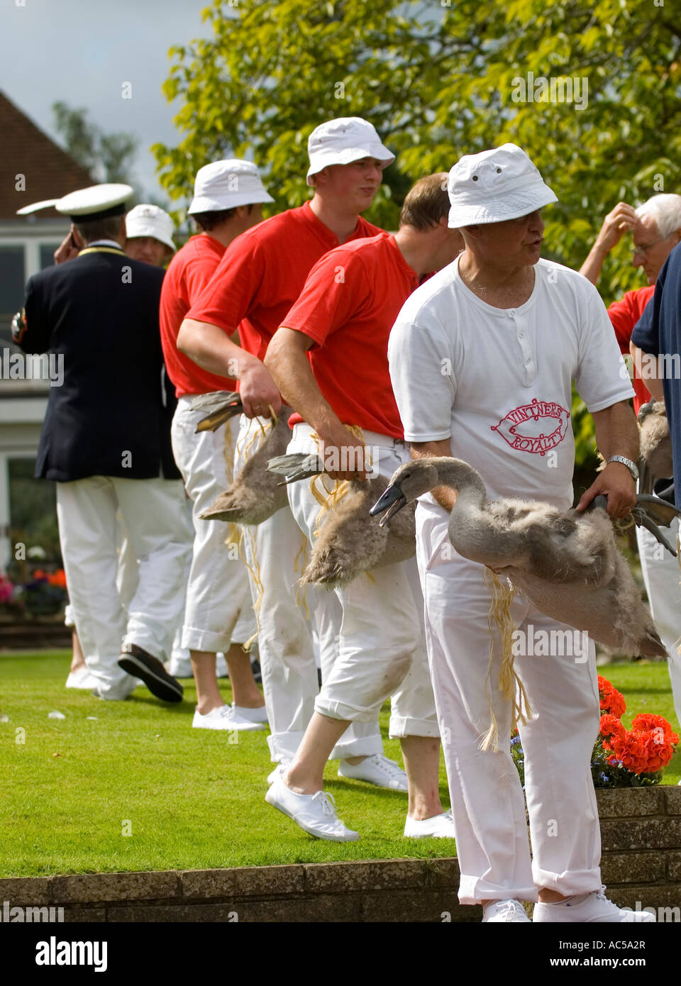 Swan uppers examining cygnets at the annual swan upping River Thames - Stock Image