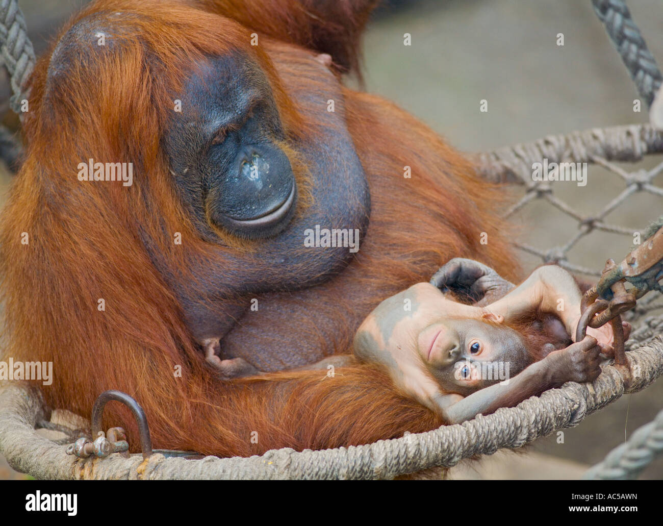 A 23 weeks old male orang utan baby (Pongo pygmaeus) sitting together with its mother in a hammock Stock Photo
