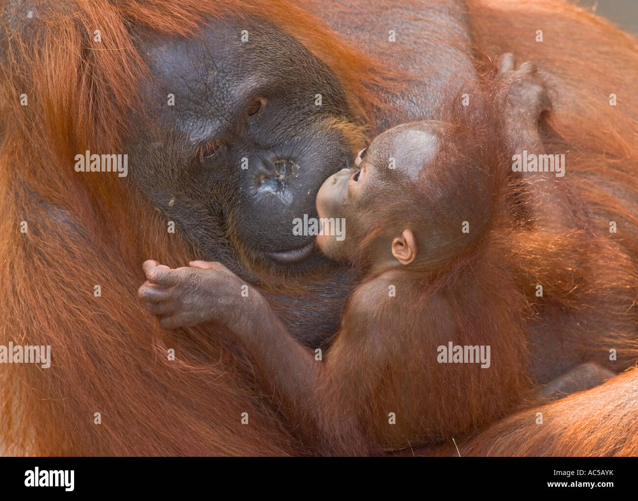 A 23 weeks old male orang utan baby (Pongo pygmaeus) kissing its mother - Stock Image