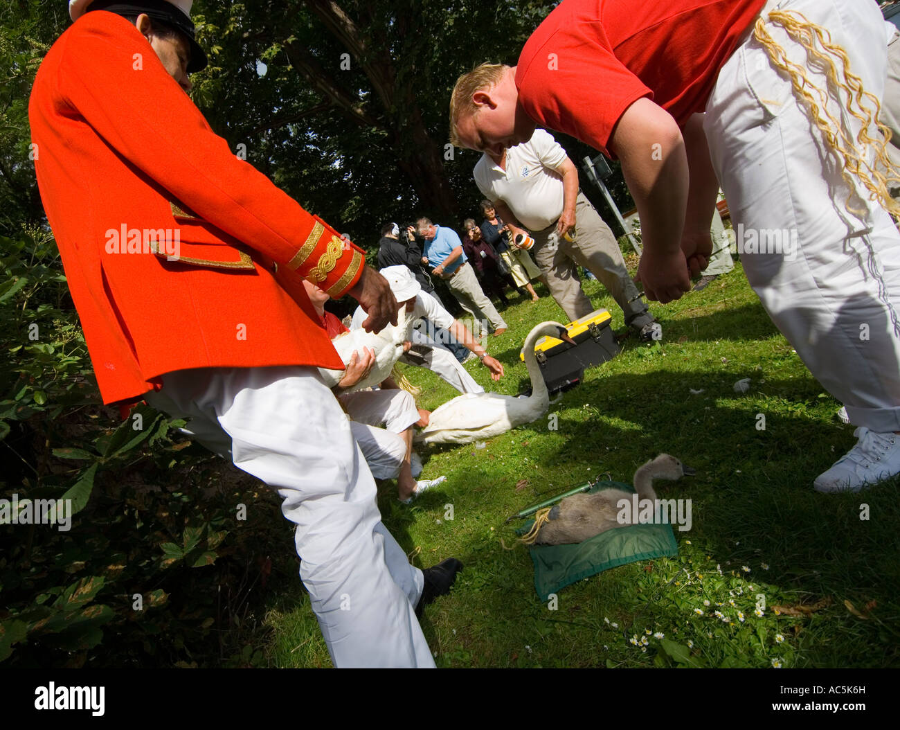 Swan uppers examining swans and cygnets at the annual swan upping River Thames - Stock Image