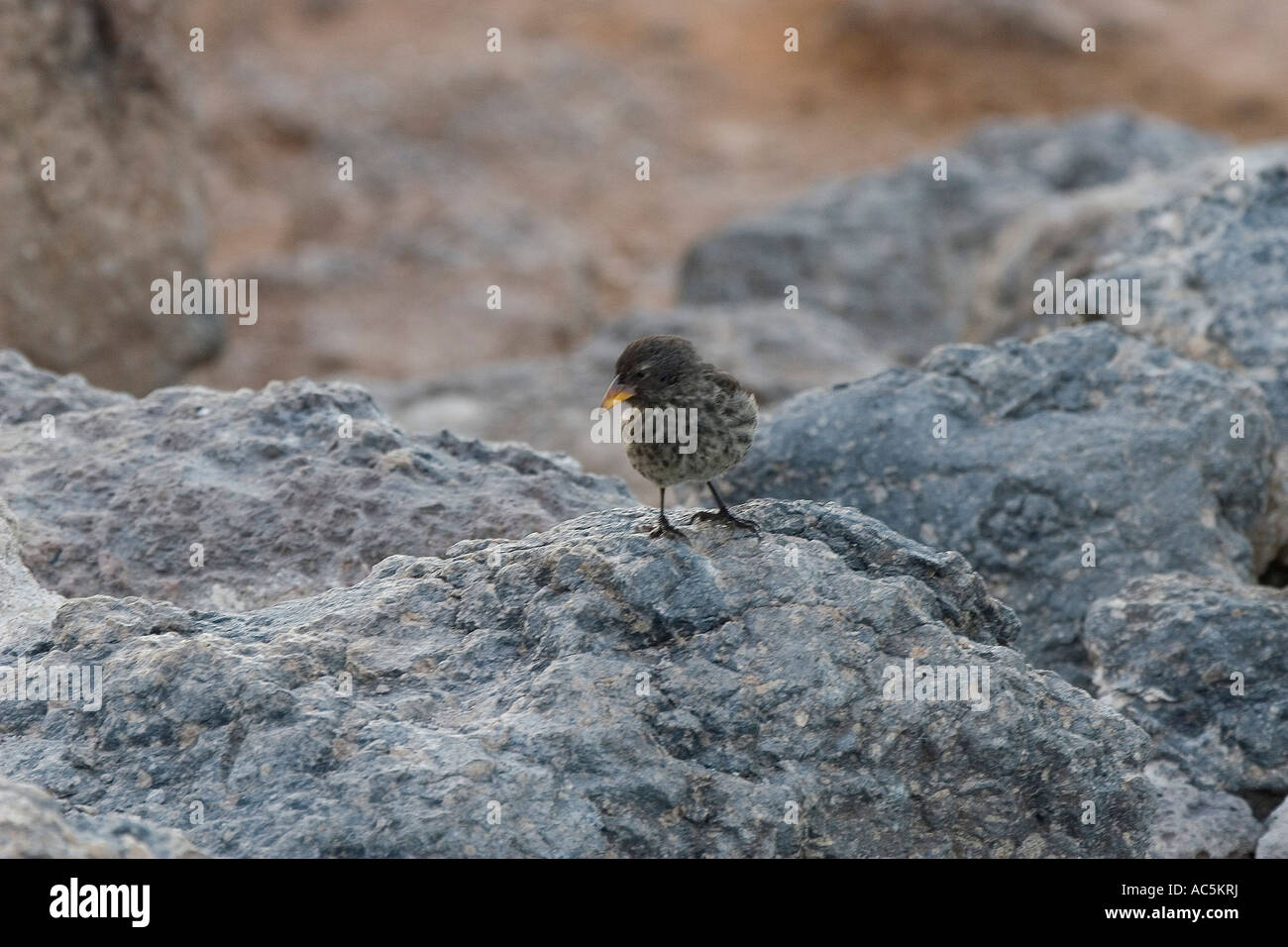 Cactus ground finch Taken on South Plazas in the Galapagos islands - Stock Image