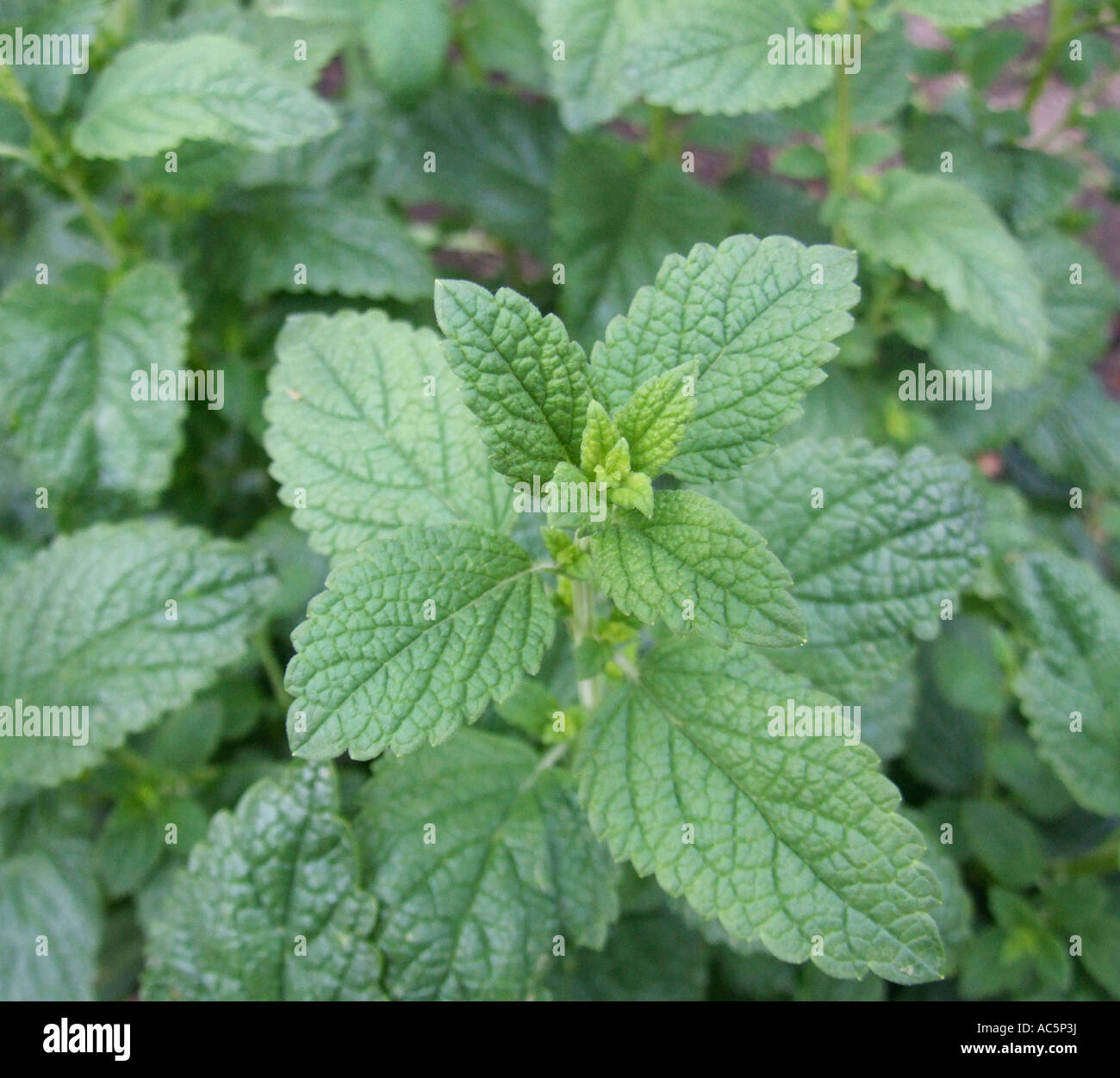 Leaves Lemon balm elevated view close up Stock Photo