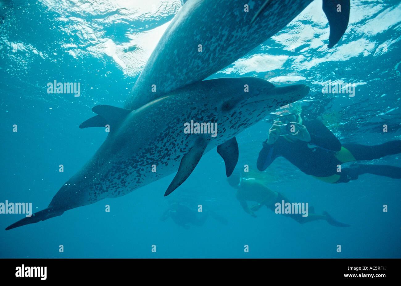 Atlantic spotted dolphin calf Stenella frontalis Bahamas Atlantic Ocean - Stock Image