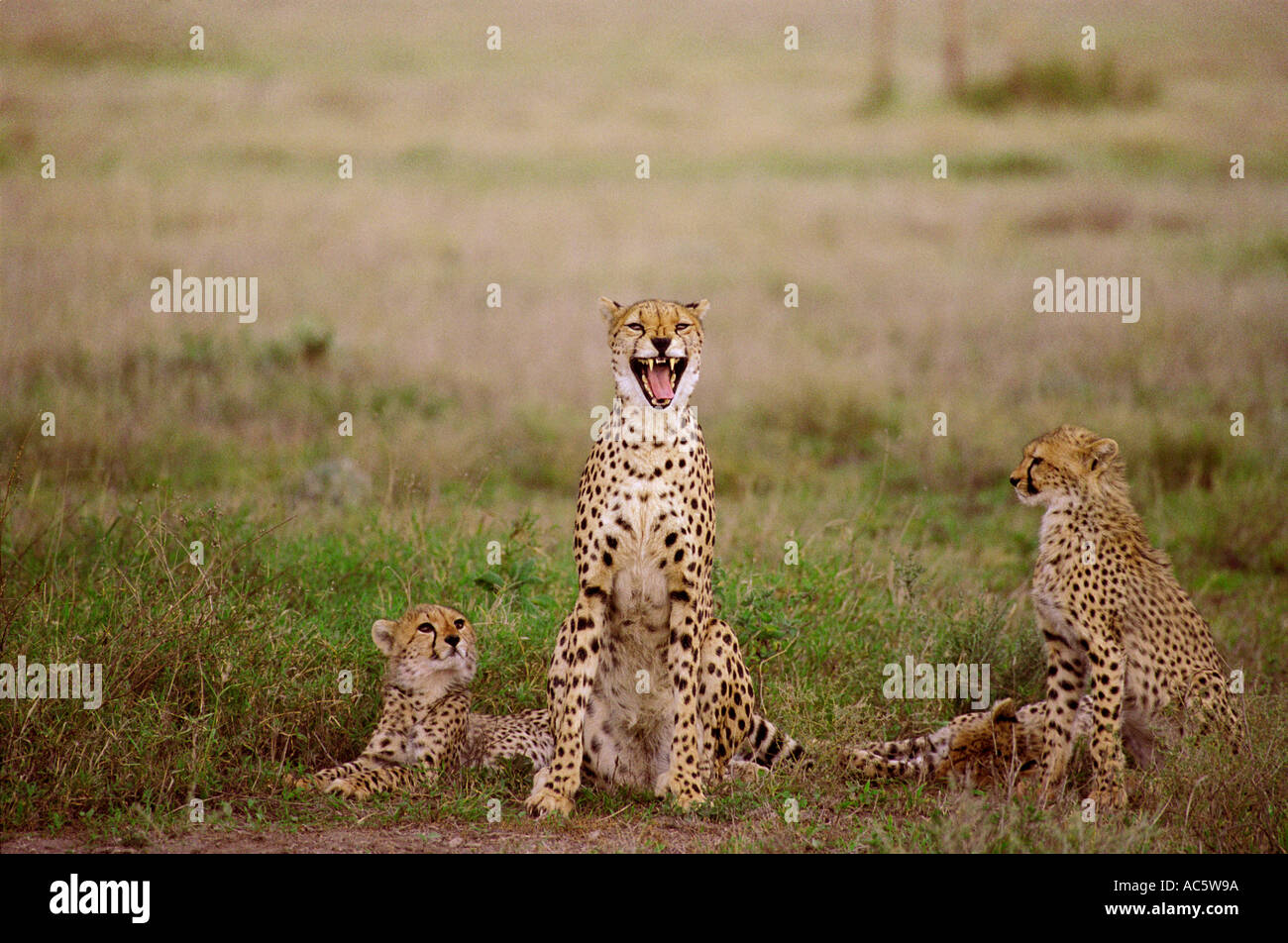 Female cheetah and cubs in Serengetti Tanzania Africa Tanzania brown green outdoors day scenic Grass Desert Wildlife Mammal Afri - Stock Image