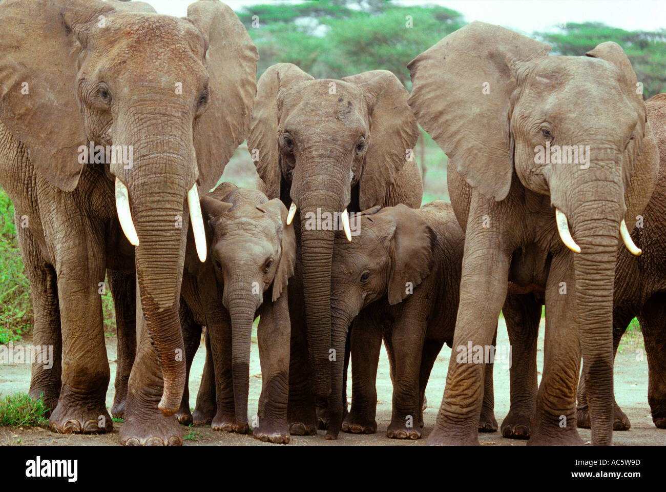 Elephants and their offspring Serengetti Tanzania Elephant Africa Tanzania brown green walk outdoors day Horizontal scenic Grass - Stock Image