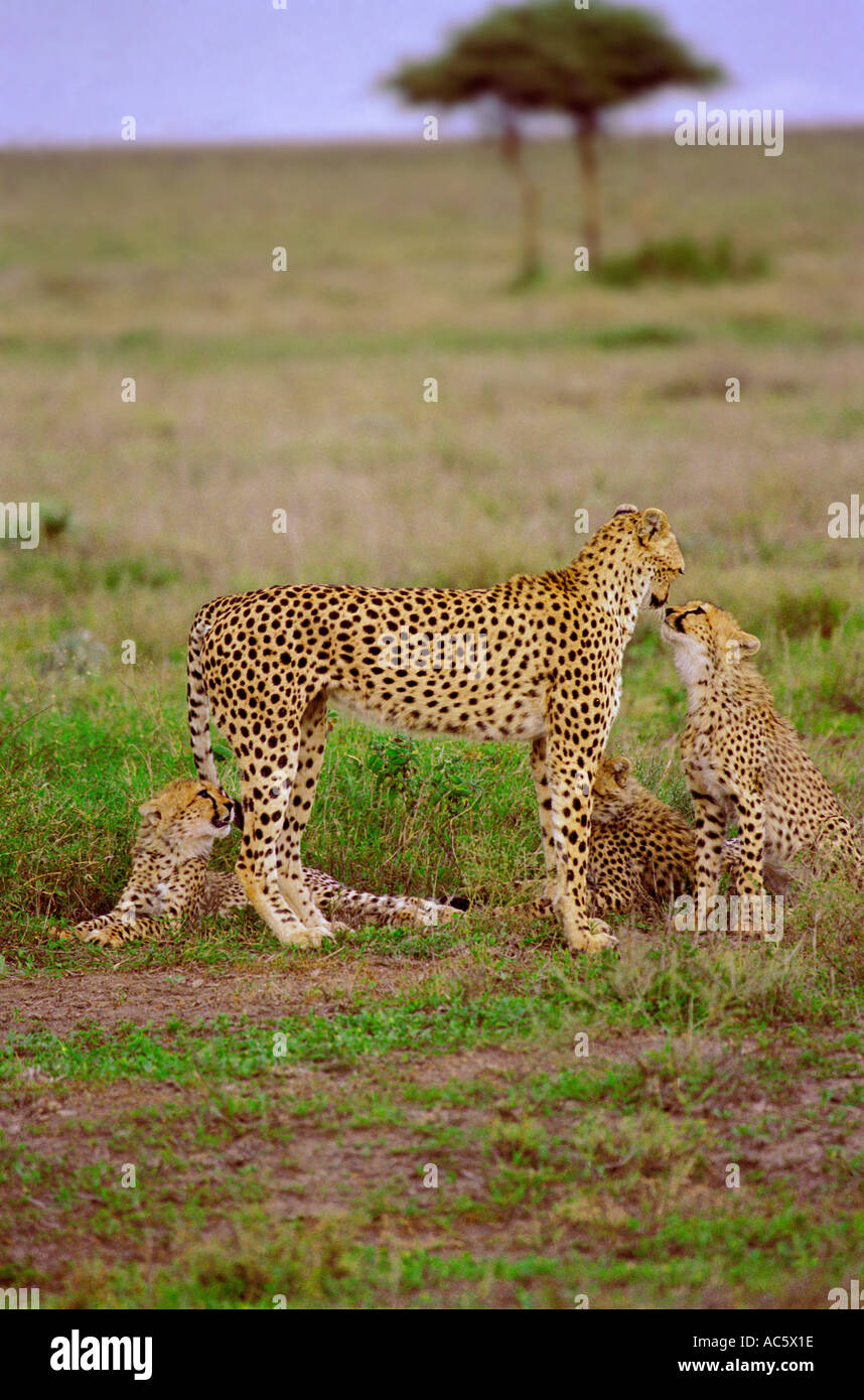 Cheetah and her cubs in the Serengetti Tanzania Africa Tanzania brown green outdoors day scenic Grass Desert Wildlife Mammal - Stock Image