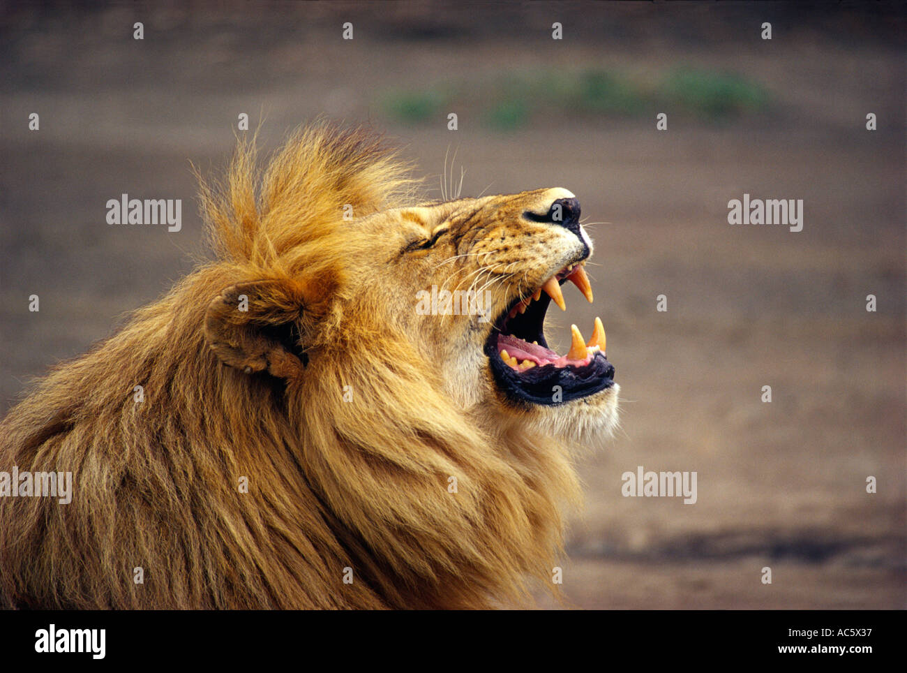 Male Lion roar Serengetti Tanzania Africa Tanzania brown outdoors day scenic Desert Wildlife Mammal Africa Animal Day Close - Stock Image