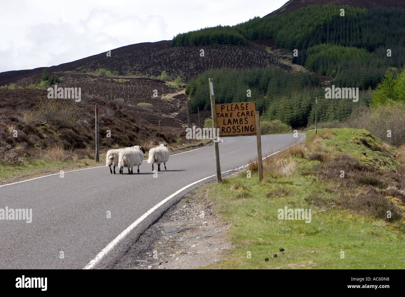 'Please take care Lambs crossing' single track country road,  Pitlochry area Perthshire Scotland uk. - Stock Image