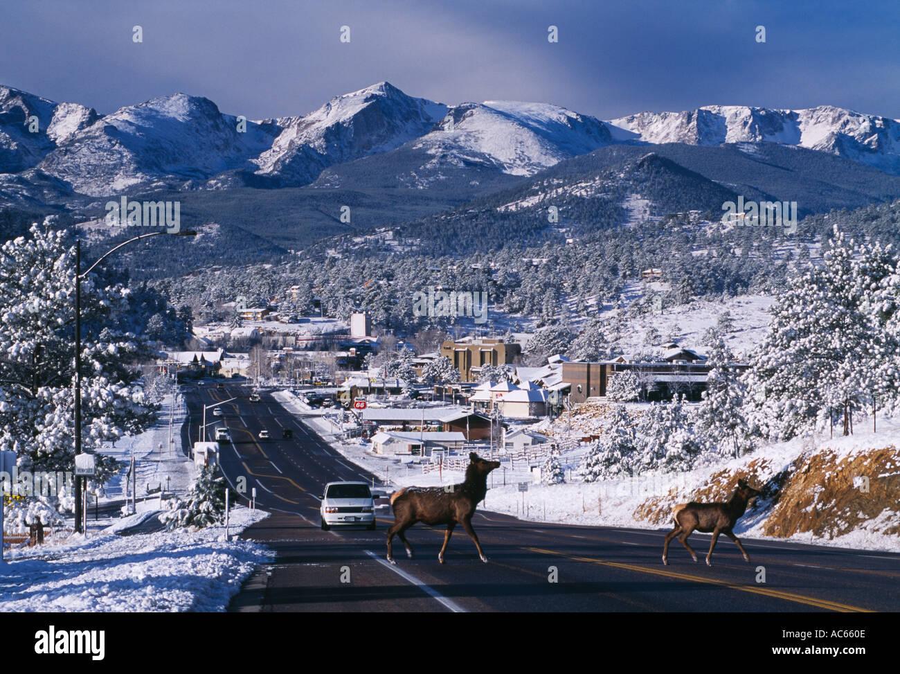 two elk crossing us highway 34 in estes park colorado stock photo