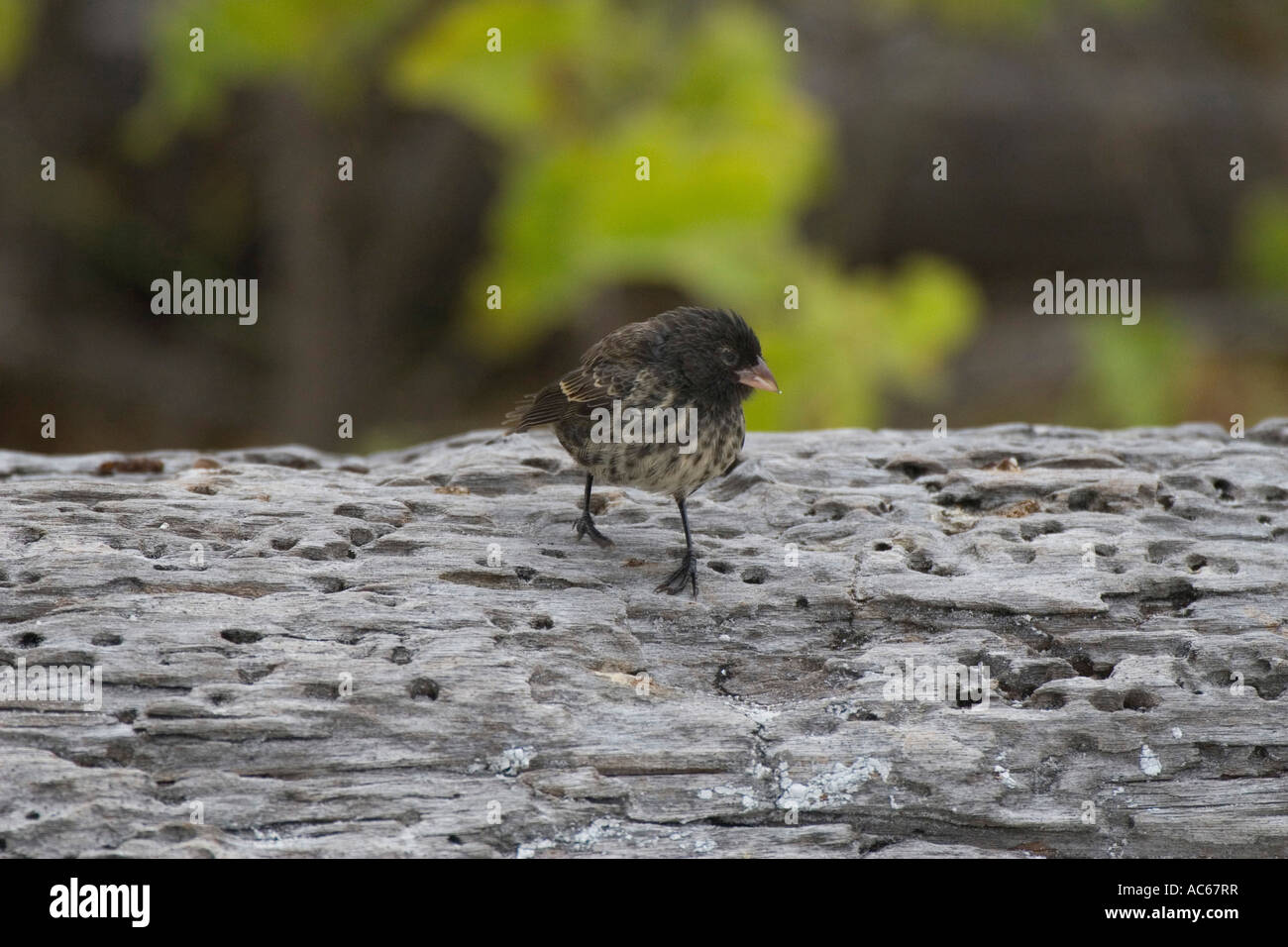 Large Cactus ground finch on Espanola in the Galapagos Islands - Stock Image