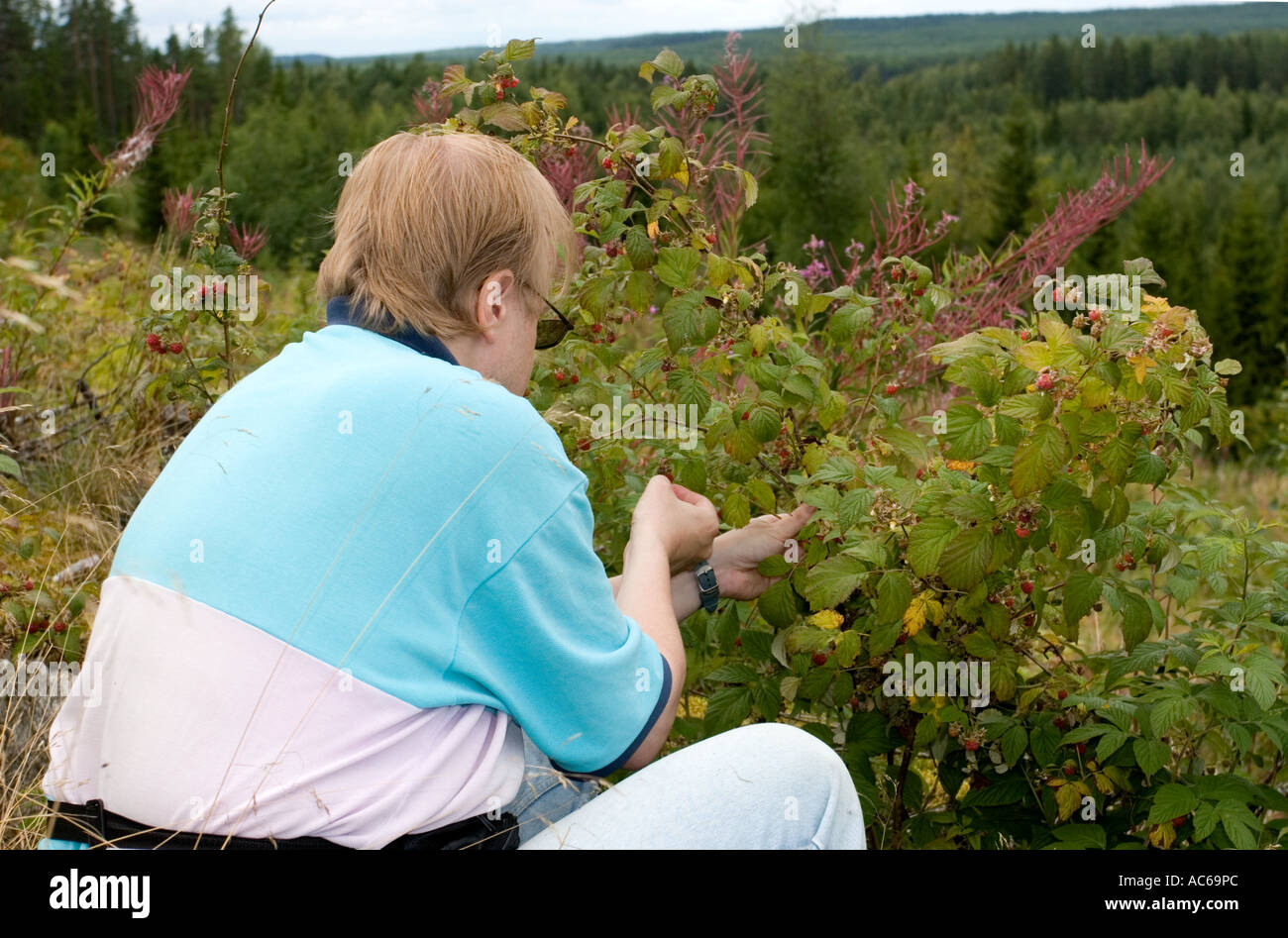 Middle-aged man picking wild raspberries ( Rubus idaeus ) at a clear- cutting area in the forest , Finland Stock Photo