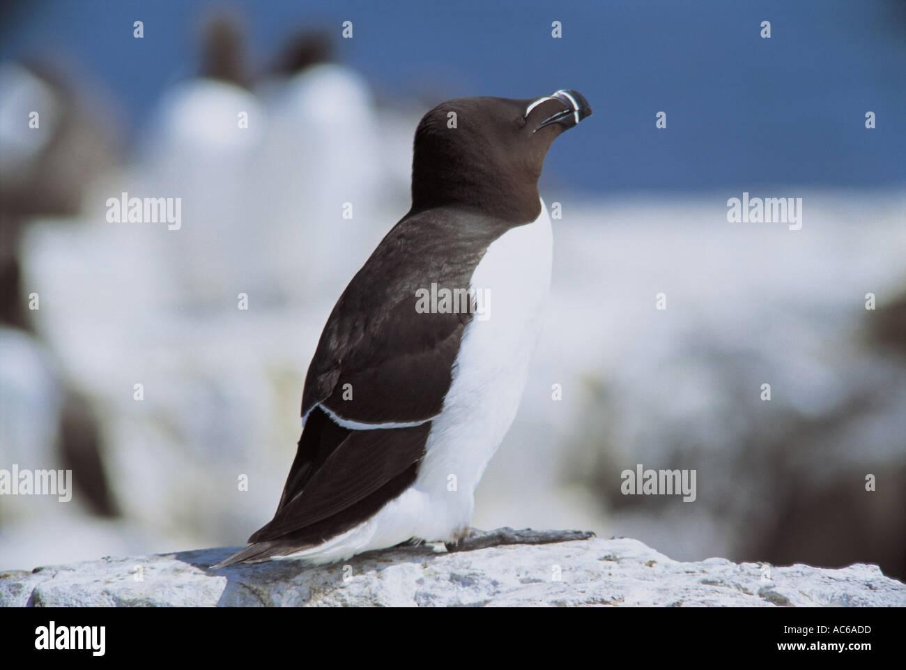 Razorbill on Staple Island - Stock Image