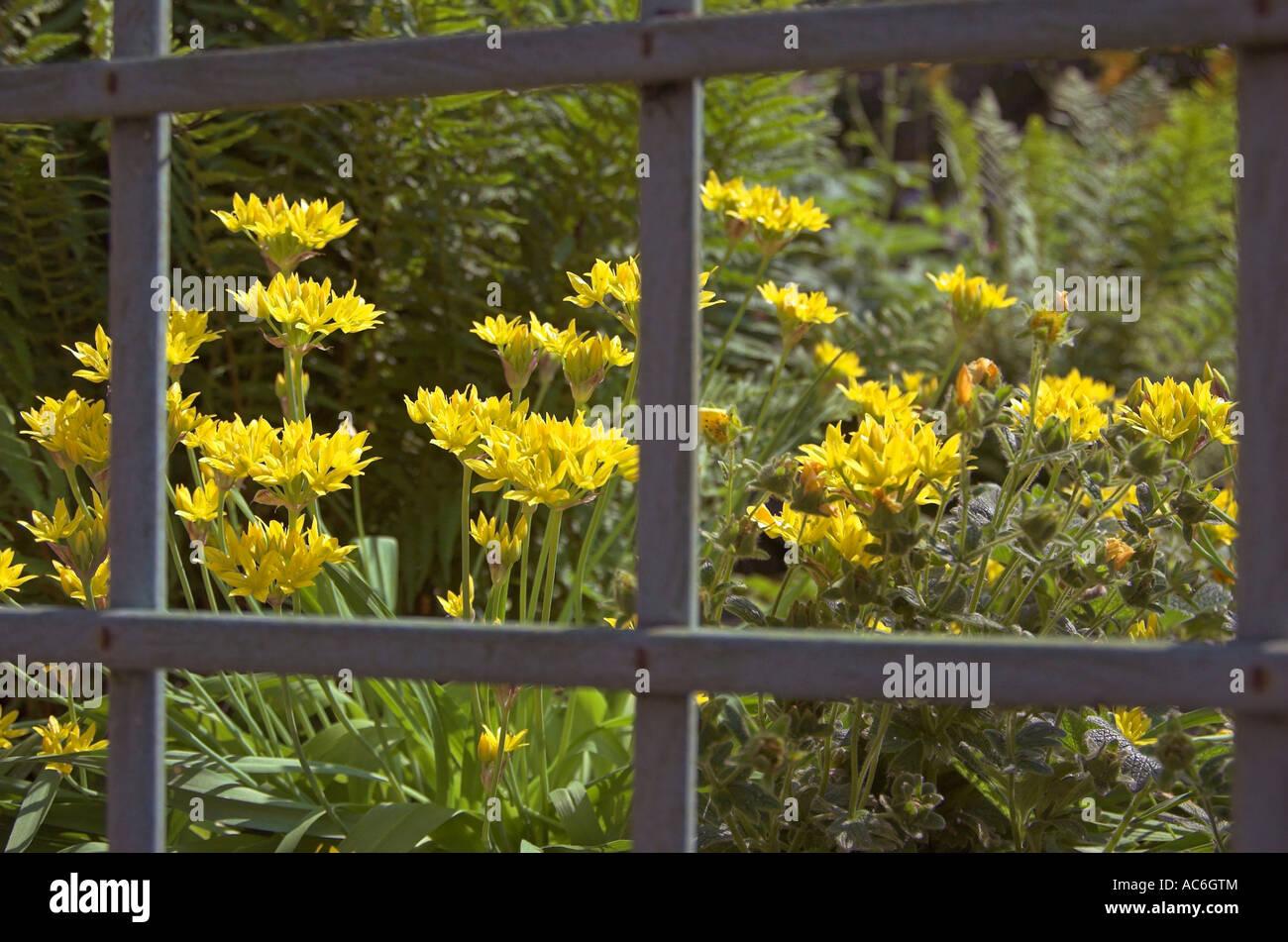 Garden Variety Ramsons Allium Spp Through Garden Trestle   Stock Image