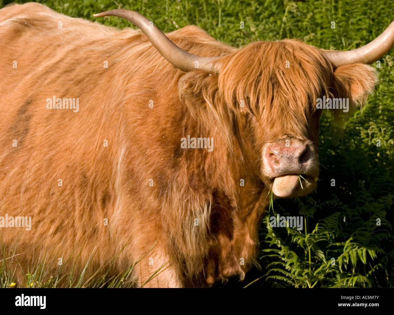 Closeup of highland cattle grazing in field Stock Photo