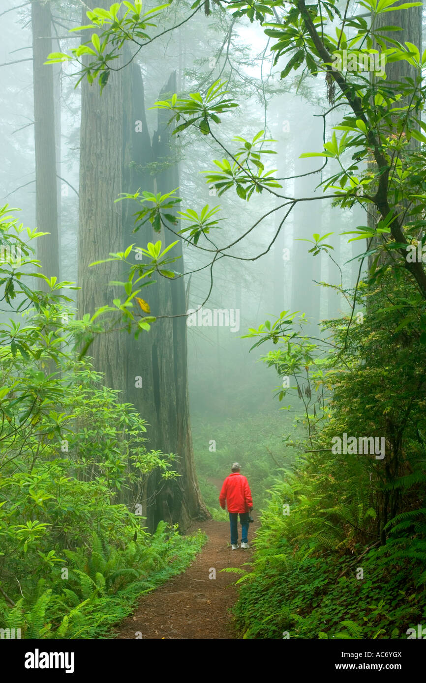 Redwood forest, hiker on trail, - Stock Image
