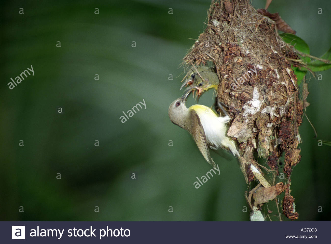 INDIAN PURPLERUMPED SUN BIRD NECTARINA ZEYLANICA PEPPARA WILDLIFE SANCTUARY - Stock Image