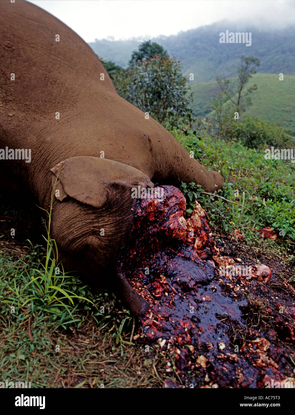CRUELTY OF ELEPHANT POACHING IN THE WESTERN GHATS, MUNNAR IDUKKI DISTRICT - Stock Image