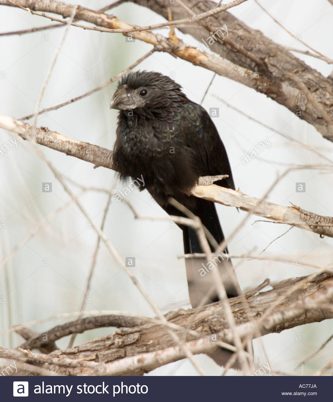 Groove-billed Ani, perched, Crotophaga sulcirostris - Stock Image