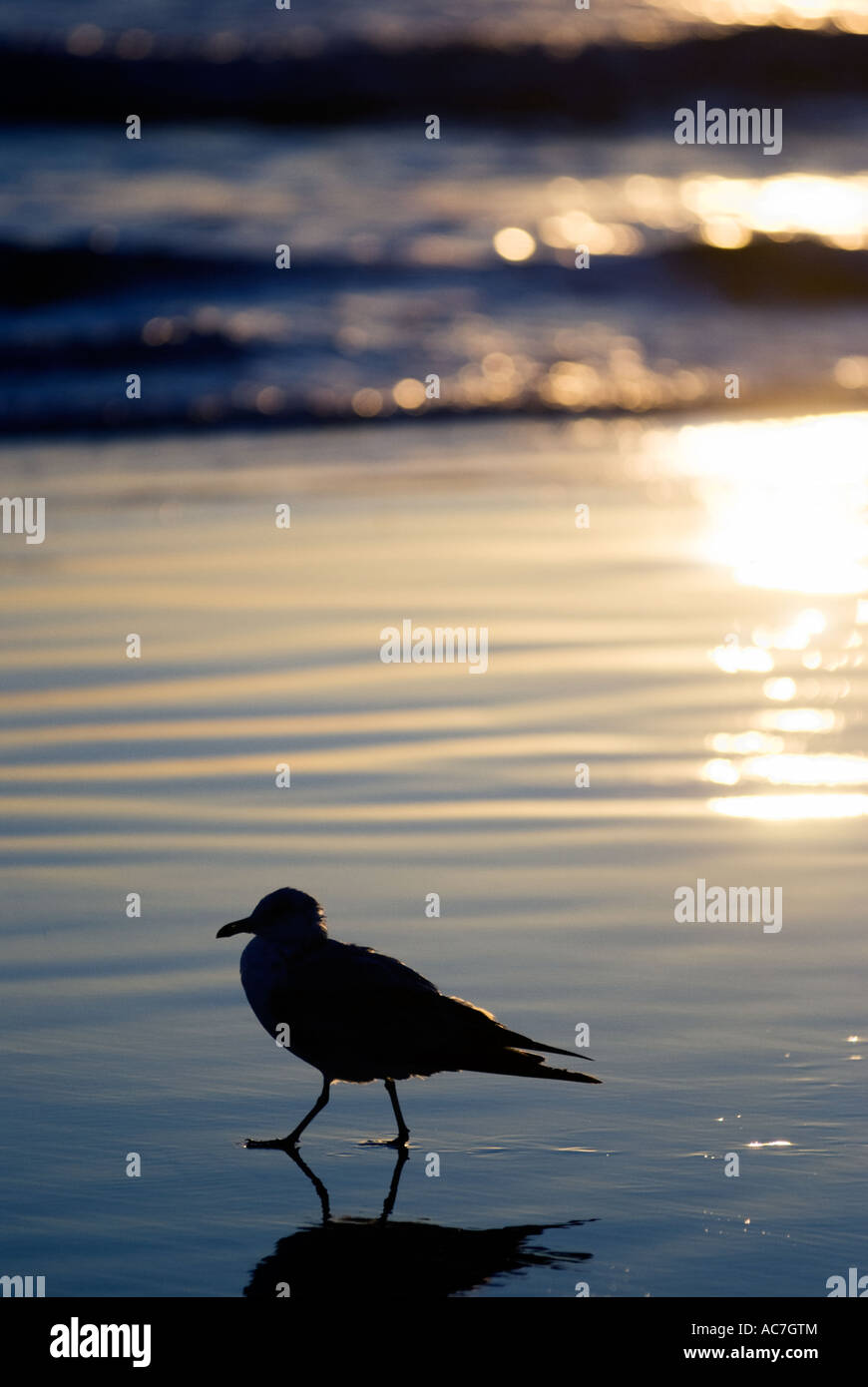 A single seagull paddling at the water's edge - Stock Image