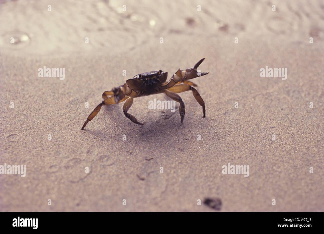 CRAB ON DEFENSIVE POSE AT BANGARAM BEACH - Stock Image