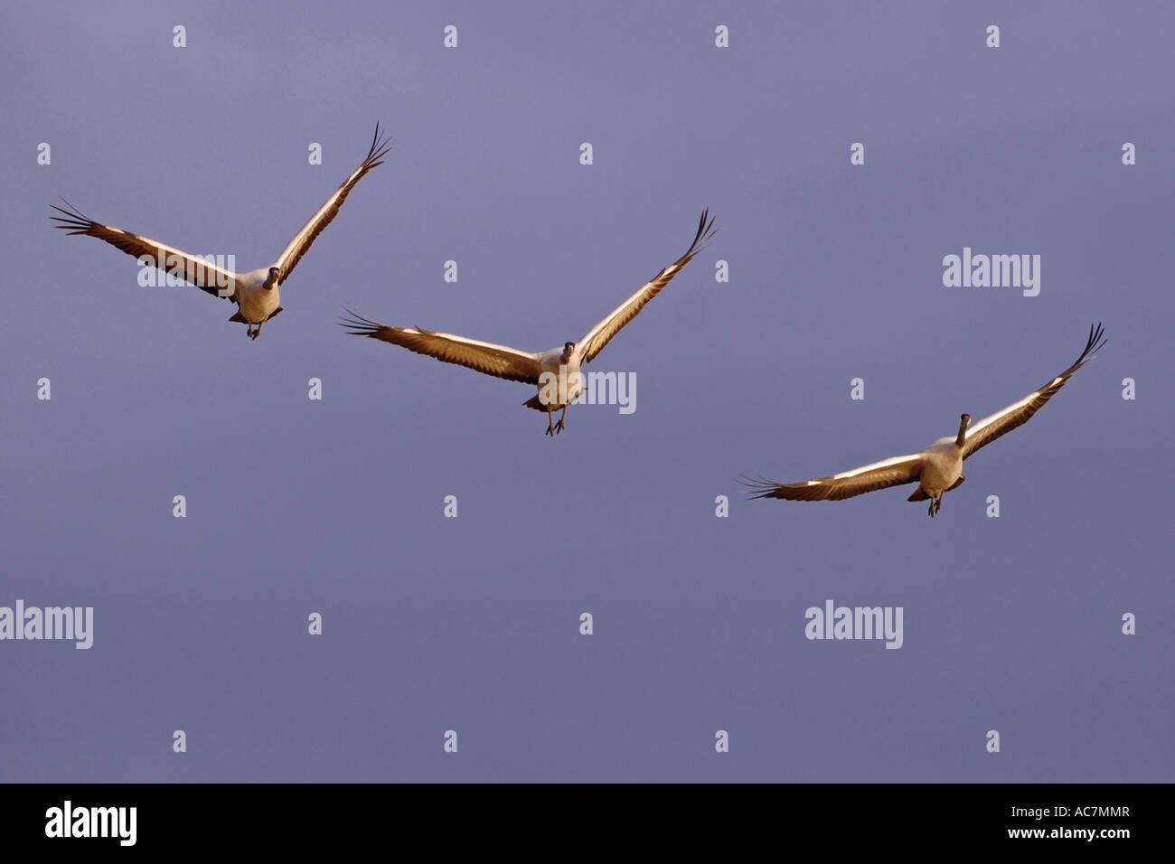 Fliegende Kraniche Local Caption Fliegende Kraniche Stock Photo