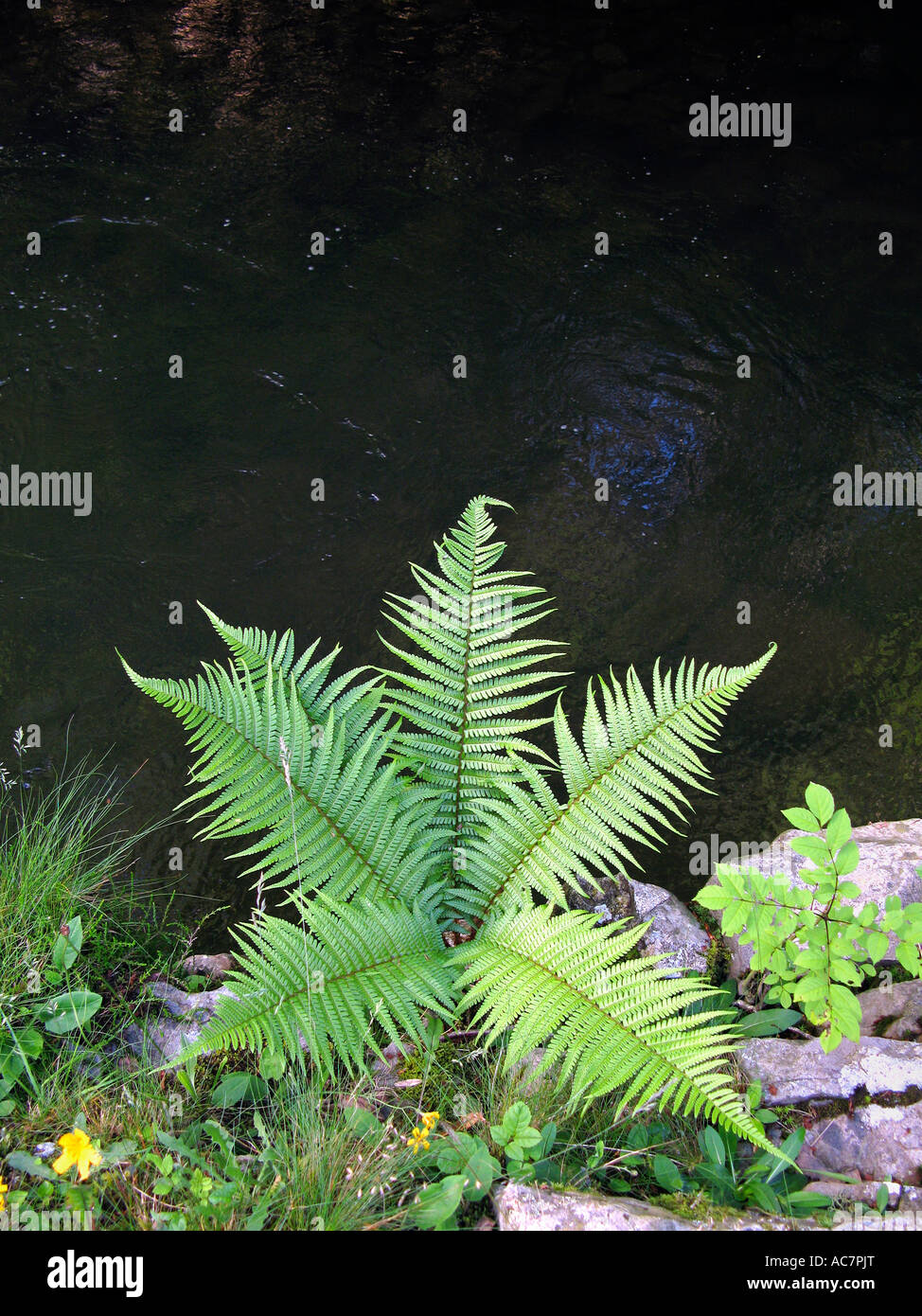Fern growing out of rocks Afon Pyrddin river on waterfall walk near Pontneddfechan South Wales UK GB EU Stock Photo