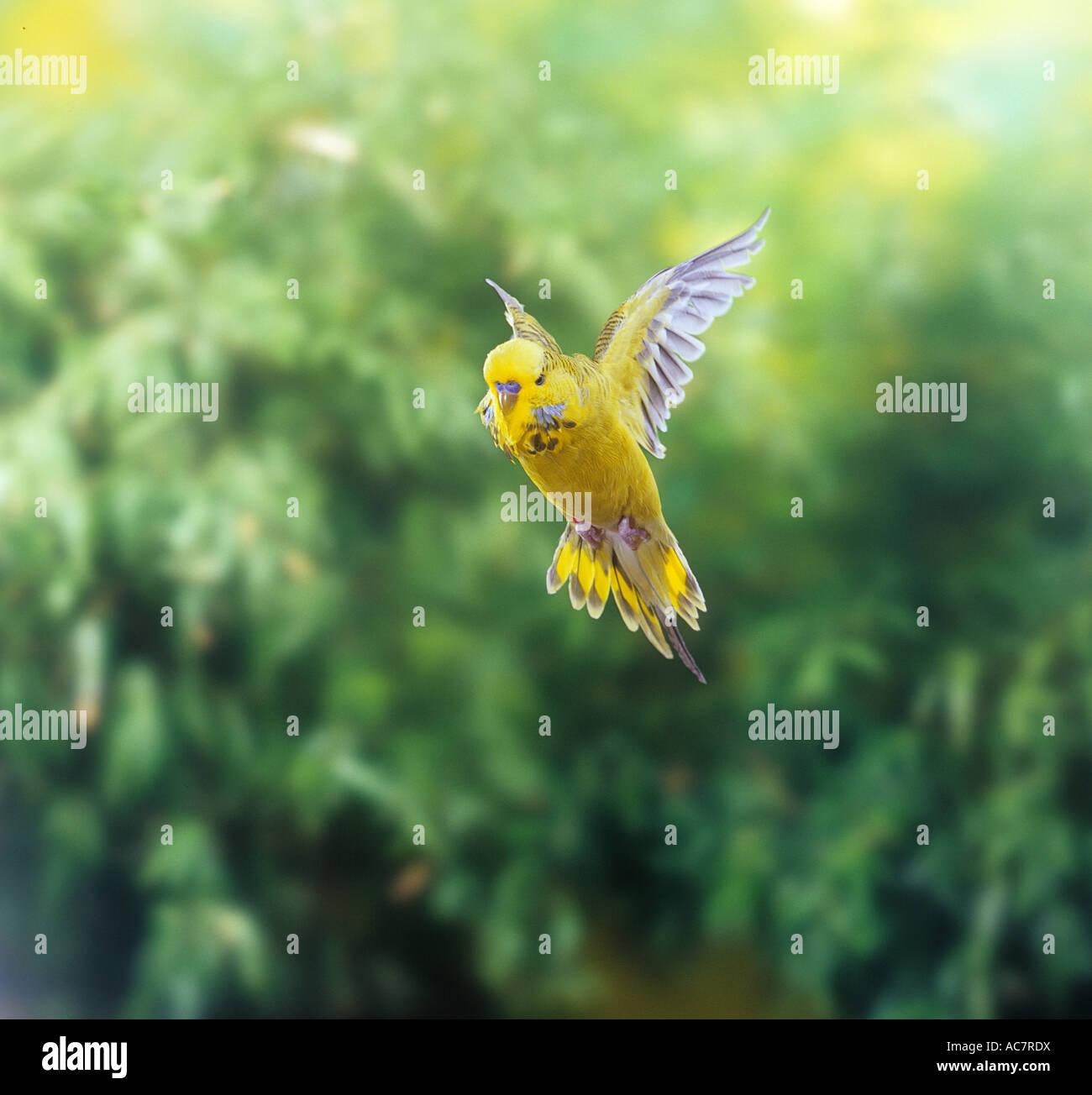 budgerigar - flying / Melopsittacus undulatus - Stock Image