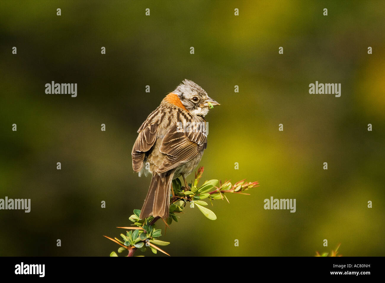 rufous-collared sparrow / Zonotrichia capensis Stock Photo