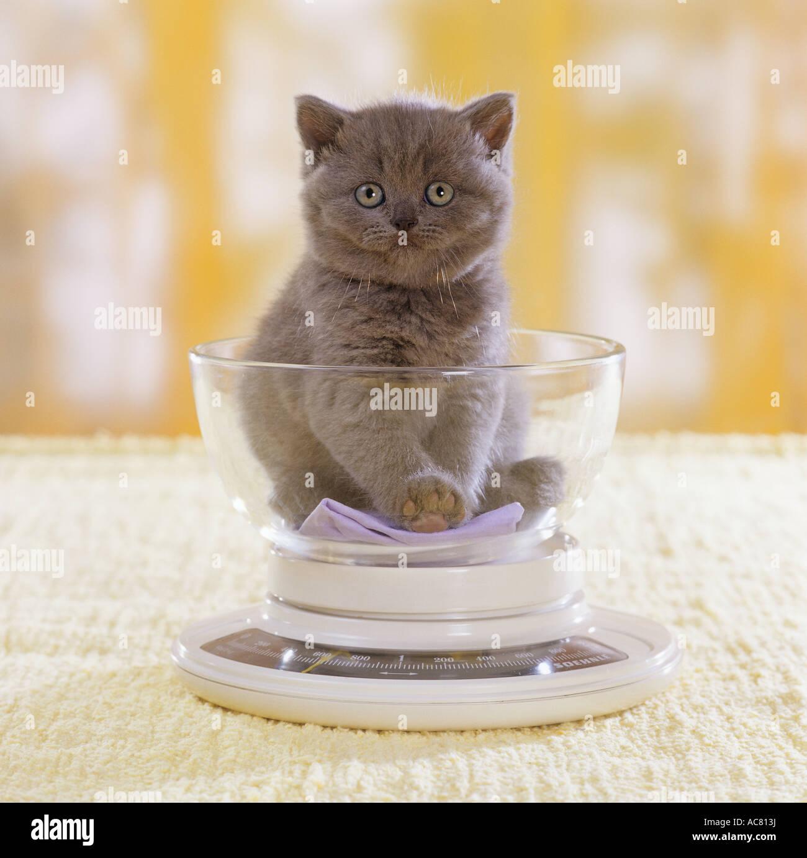 Carthusian kitten on scale - Stock Image