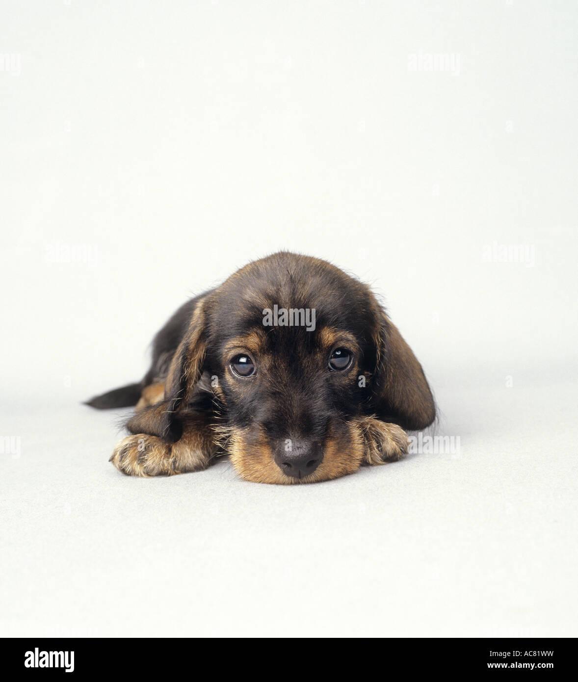 Wirehaired Dachshund Puppy Stock Photos & Wirehaired Dachshund Puppy ...