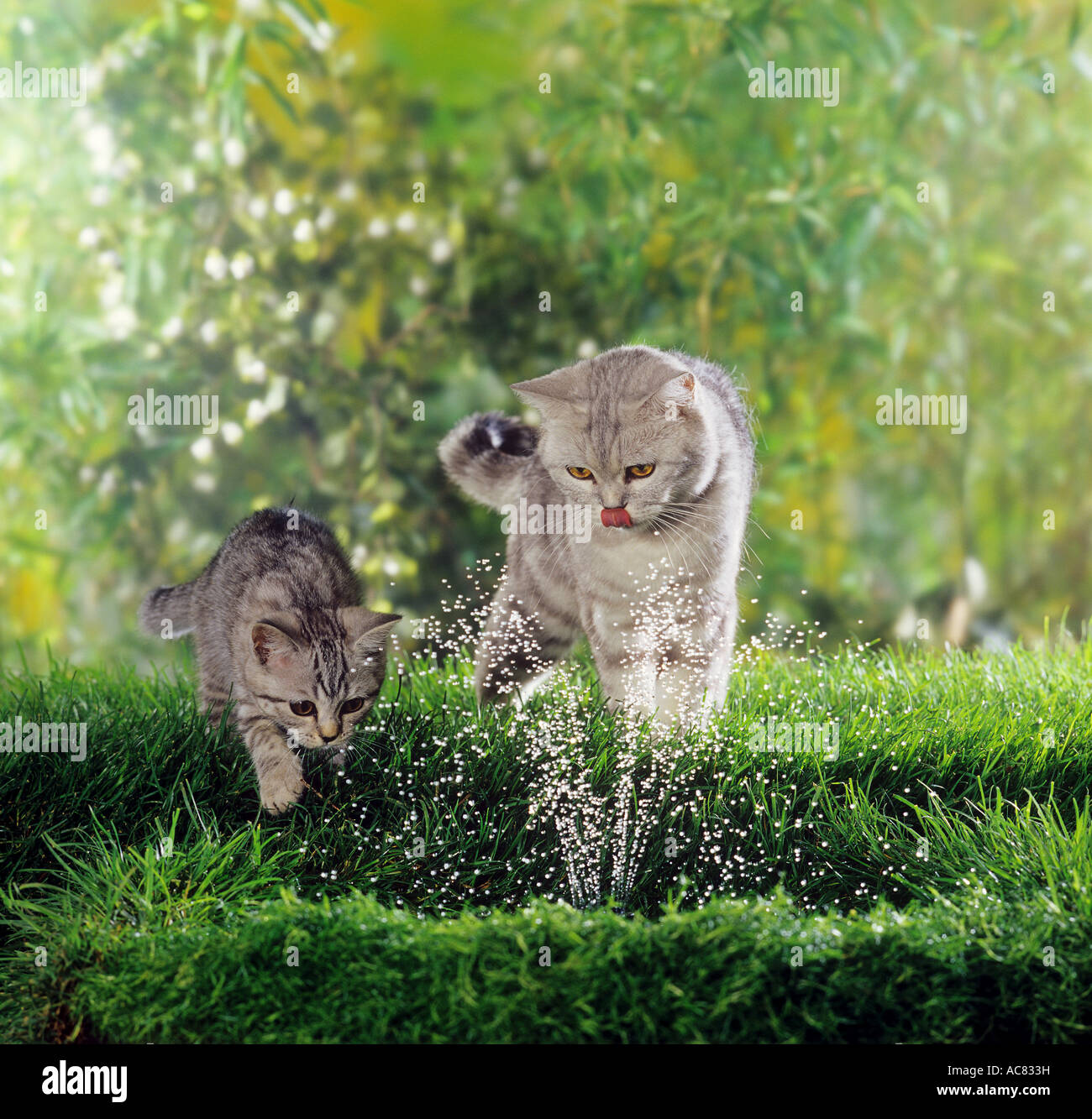 British Shorthair cat and kitten at fountain - Stock Image